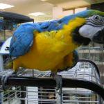Ара сине-желтый попугай от заводчика