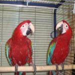 Ара зеленокрылый - птенцы выкормыши