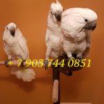 Белохохлый какаду птенцы - выкормыши из питомнков европы