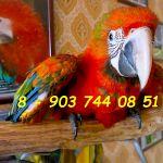Гибриды попугаев ара - птенцы выкормыши из питомников Европы