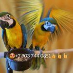 """""""голубое золото"""" - сине желтый ара ara ararauna  птенцы"""