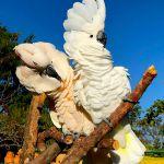Какаду - абсолютно ручные птенцы из питомников Европы. Документы