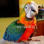 Каталина (гибрид попугаев ара) - ручные птенцы из питомника