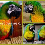 Милиголд (гибрид попугаев ара) - ручные птенцы из питомника