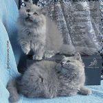 Британская длинношерстная кошка хайлендер