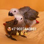 Жако - ручные птенцы из питомников Европы.