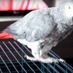 Попугай Жако краснохвостый