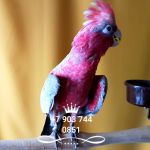 Розовый какаду (Eolophus roseicapilla) птенцы из питомника