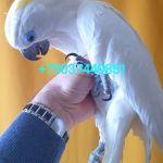 Синеочковый какаду (Cacatua ophthalmica) птенцы из питомника