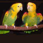 Желтоголовый амазон (Amazona oratrix)- ручные птенцы из питомника